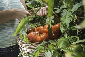 Picking tomatoes in basket