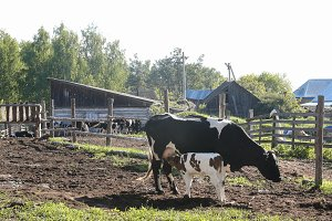 The cow feeds the calf milk from the udder - rural scene