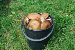 A bucket of fresh boletus - wild mushrooms