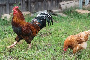 Chicken and rooster walking at green grass