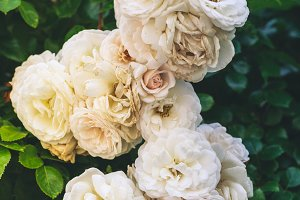 White withering roses