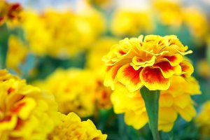 Marigold flowers , yellow flowers