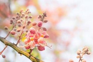 Cassia grandis flowers