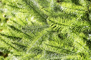 Green leaves pine
