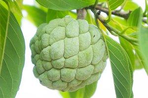 custard apple fruit on tree