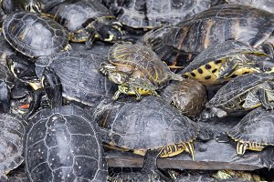 Turtles stacked