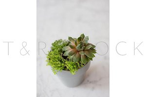 Succulents in a Gray Pot on Marble