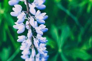 Lupines flower