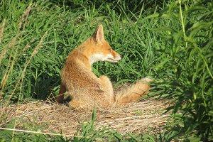 Fox(y) Lady
