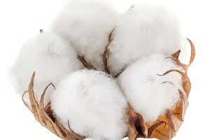 Fluffy cotton ball of cotton plant