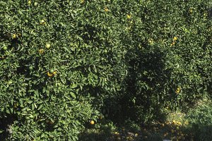 Orange trees in plantation
