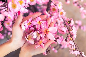 Plumeria frangipani flower in woman hands on a beautiful decorative pink sakura background