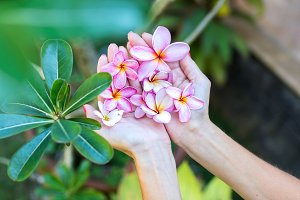 Plumeria frangipani flower in woman hands on a beautiful nature background