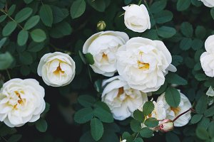 Close-up of white garden roses. Macro shot.