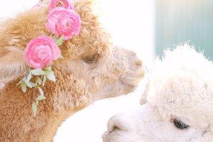Alpacas in flower crowns
