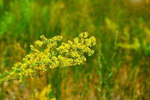 Yellow blooming wildflowers