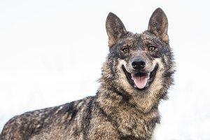 Iberic Wolf