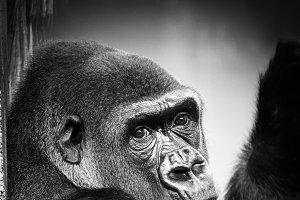 gorilla(vertical)