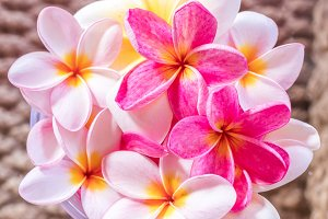 Plumeria flower pink and white frangipani tropical flower, plumeria flower bloominge, spa flower, Bali island.