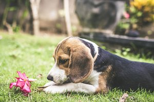 Cute puppy breed beagle dog on a natural green background. Tropical island Bali, Indonesia.