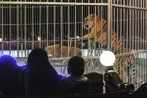 Tiger in circus