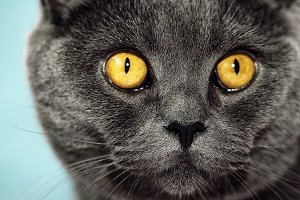 Closeup of cute British grey cat