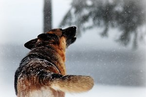 German Shepherd Howling in the Snow