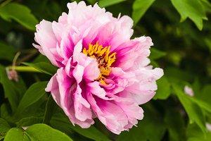 Pink peony bush