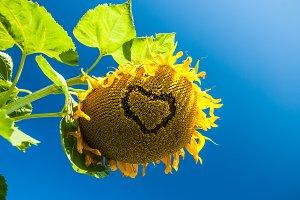 Heart on sunflower