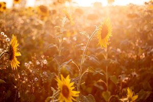 Field of sunflowers in sunset light
