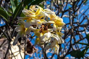 Yellow and white plumeria flowers on the tree in the garden of tropical Bali island, Indonesia.
