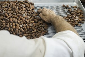 Hands sellect cocoa beans