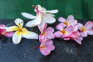Frangipani flowers in the swimming pool. Bali island.