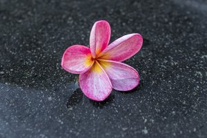 Frangipani flower in the swimming pool. Bali island.