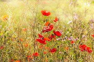 Blossoming poppy