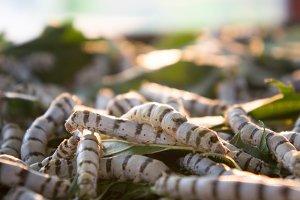worm larva silkworm
