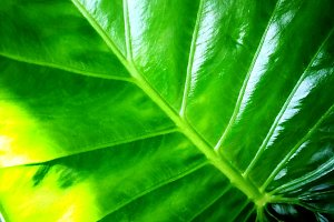 Philodendron green leaves
