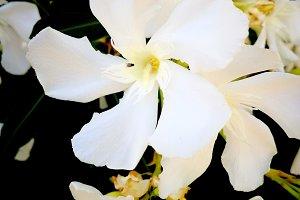 White oleander full sun