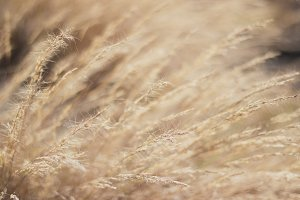 Wild grass blowing in the breeze