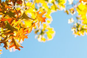 Maple leaves over the blue sky