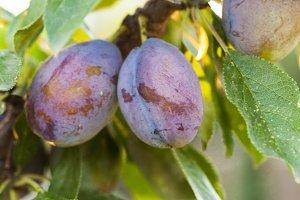 Ripe purple plum