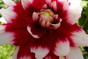 Red and white elegant dahlia