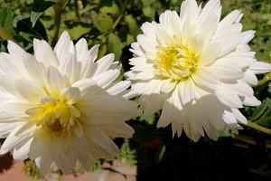 Two white dahlias full sun