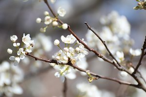Dogwood Blossoms 2