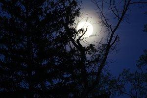 Moon Behind Pine Trees