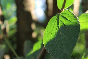 Leaf in Sunlight