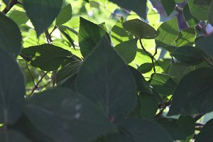 Leaves in Shade