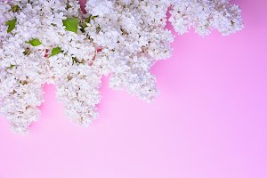 blossoming white lilacs