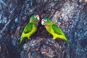 Green Parrot Couple