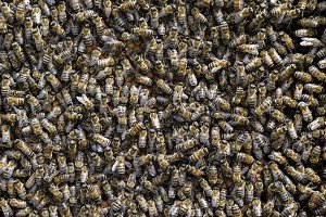 A dense cluster of swarms of bees in the nest. Working bees, drones and uterus in a swarm of bees. Honey bee. Accumulation of insects.